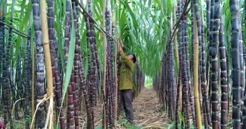 Apply trade defense tax – Support Vietnam's sugar industry to compete fairly